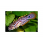 peacock_goby